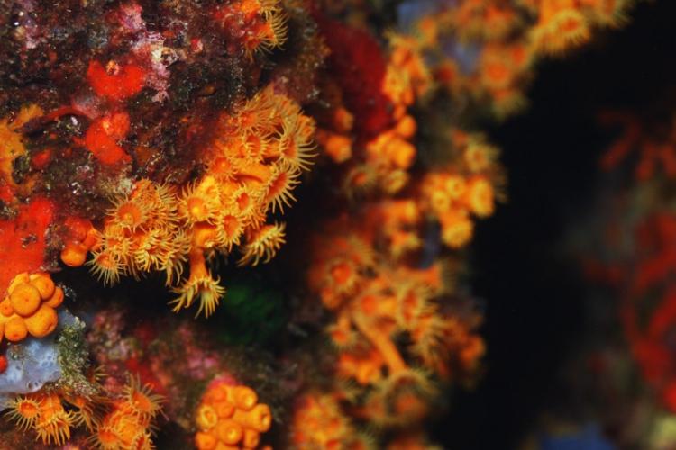 Anemon inkrustowany żółty