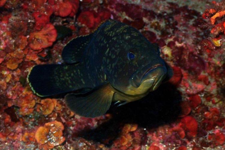 Grouper vel Strzępiel