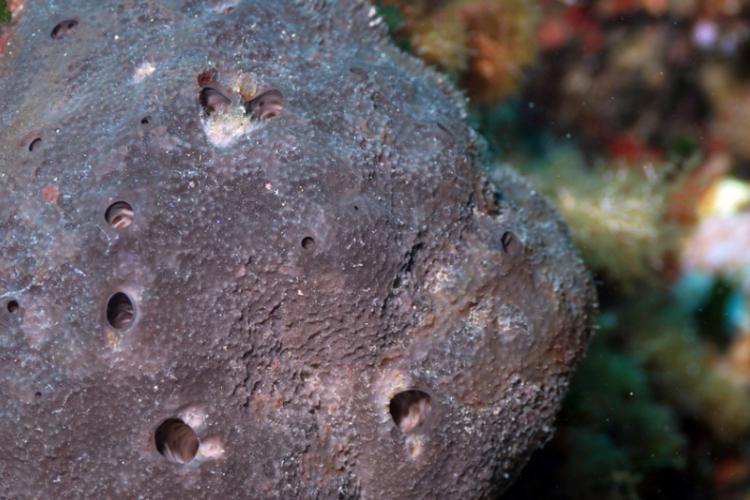 Przykład gąbek zwartych: Chondrosia reniformis