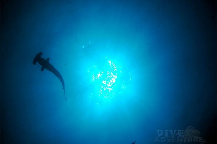 Tapeta - rekin młot