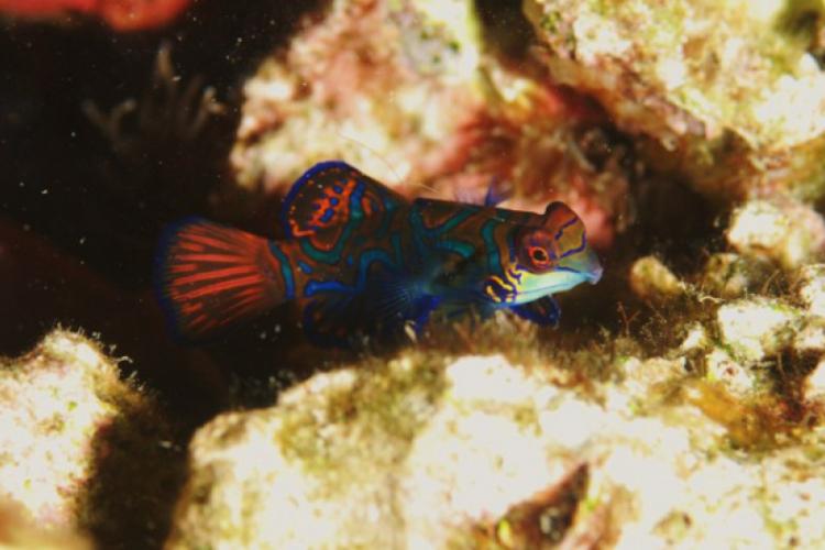 Mandarynfish z wyspy Malapascua na Filipinach