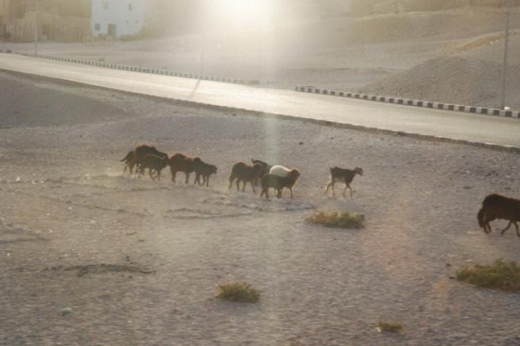 Różne zwierzaki hodowlane szwędają się często samopas