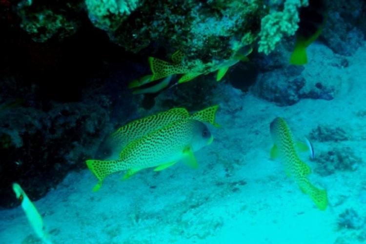 Luszczowate są aktywne nocą, a w ciągu dnia leniwie pływają przy koralowcach