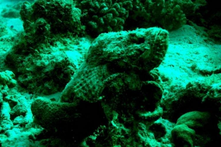 Ryba kamień - szkaradnica
