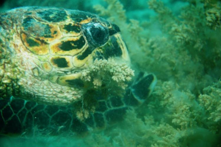 Żółw zajada się rafą