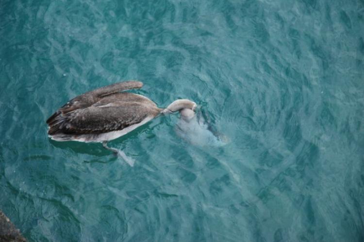 Pelikan właśnie łapie ryby