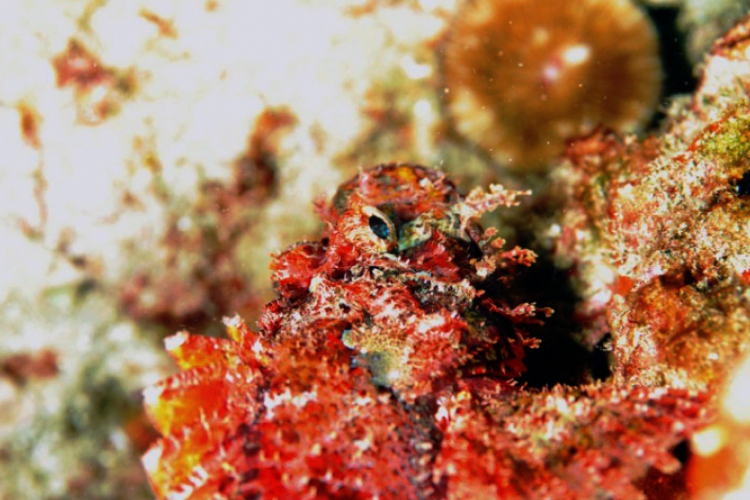 Łeb Scorpionfish