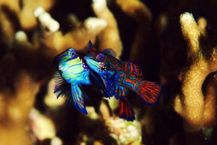 Gody Mandarynfish