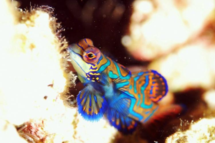 Samiec Mandarynfish