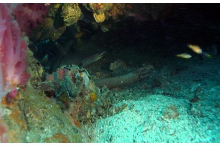 Rekin białopłetwy