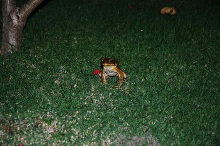 Wysoka żaba - wyspa Negros