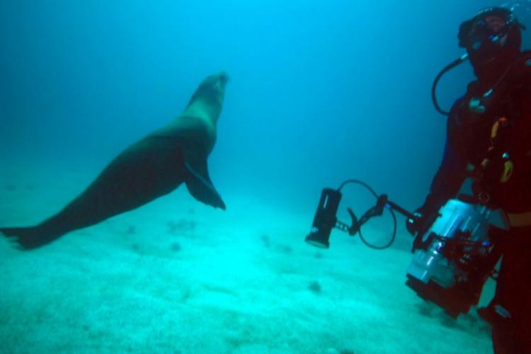 Bawiący się z nurkami lew morski