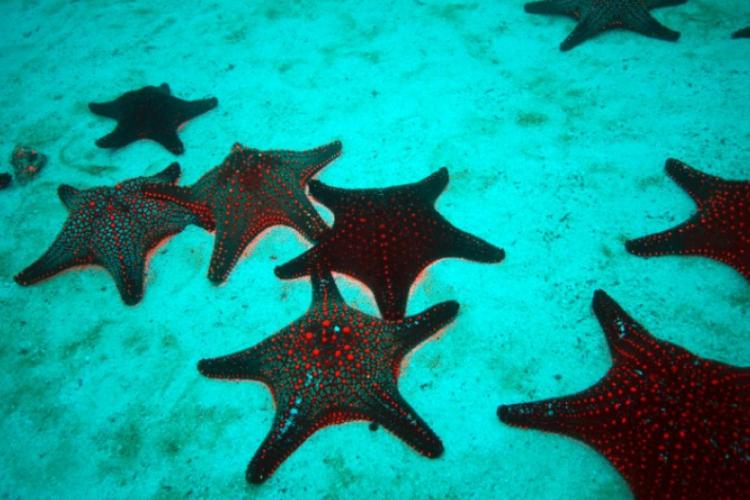 Panamic Sea Star