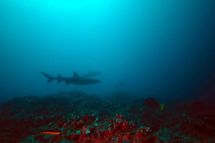 Whitetip reef shark - Triaenodon