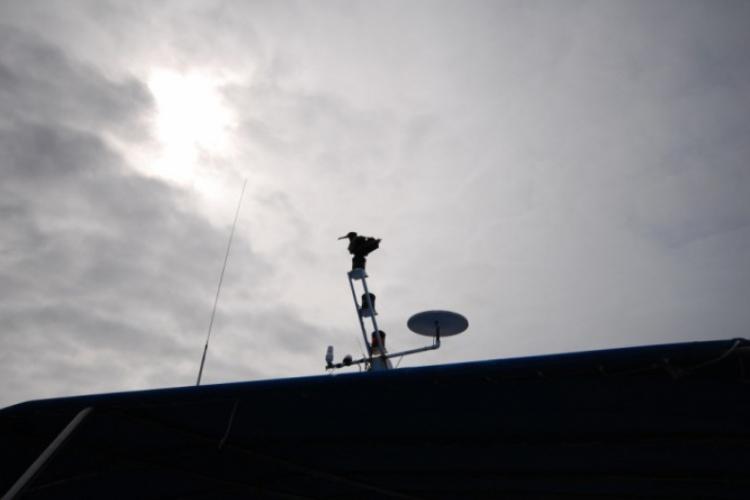 Fregata (tak, tak właśnie się nazywa ;-))  siedząca na antenie