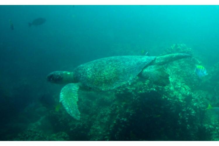 Hawksbill sea turtle - żółw