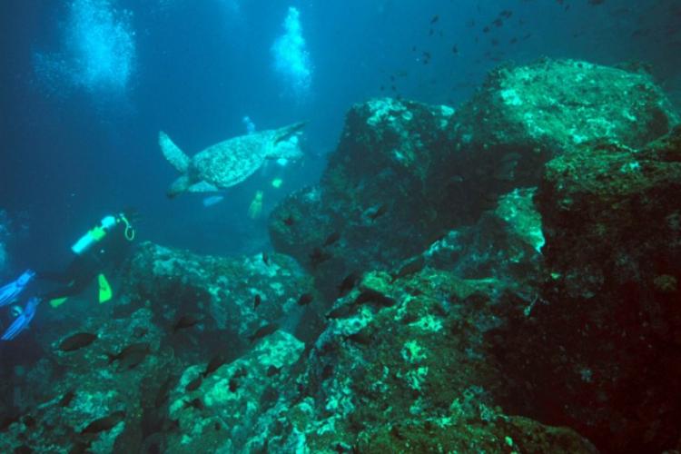 Green sea turtle- żółw morski