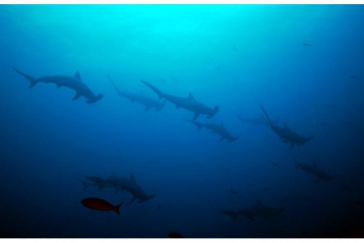 Scalloped hammerhead shark - stado rekinów młotów