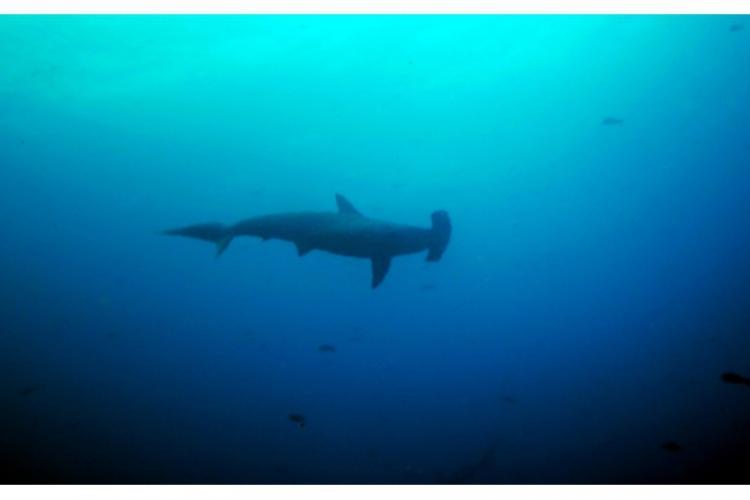 Scalloped hammerhead shark - rekin młot