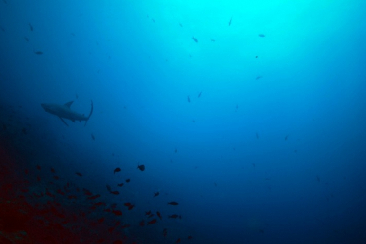 Rekin w toni