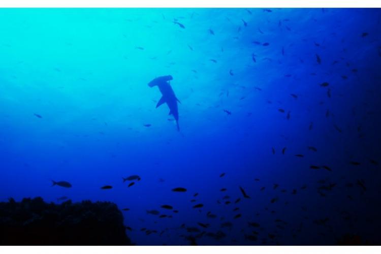 Rekin-młot