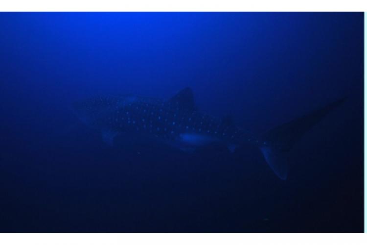 Whale shark - rekin wielorybi
