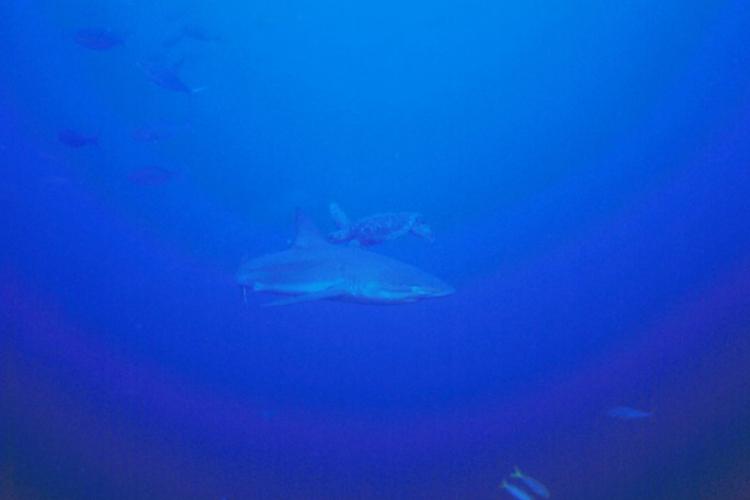 Spotkanie rekina z żółwiem