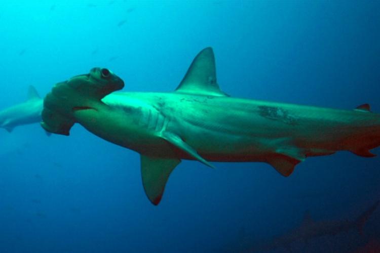 Rekin-młot z BARDZO bliska