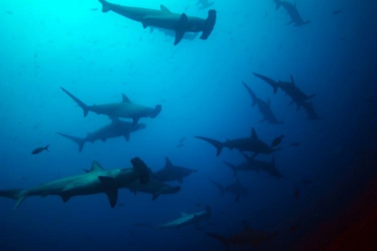 Ławica rekinów-młotów