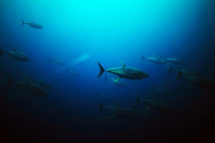 Tuńczyki żółtopłetwe