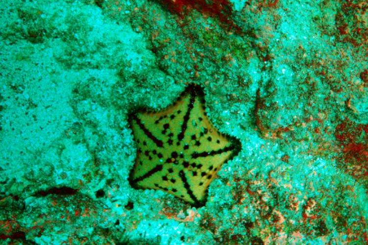 Rozgwiazda - chocolate star fish