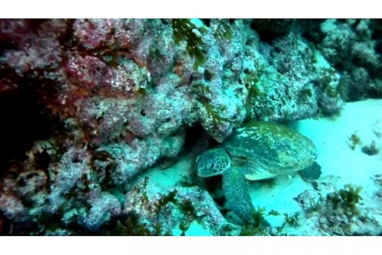 Fernando de Noronha - żółw