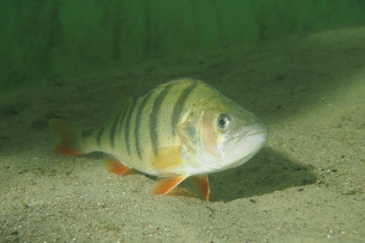 Jezioro Płotki - jak w akwarium