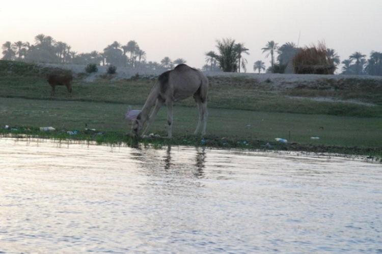 Wielbłądy chodza często bezpańsko, jak u nas psy