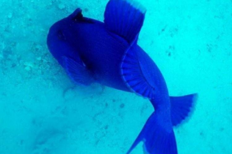 Rogatnica niebieska (Pseudobalises fuscus)ma silne zęby