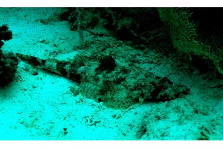Cociella crocodilla, zwana potocznie rybą-krokodylem