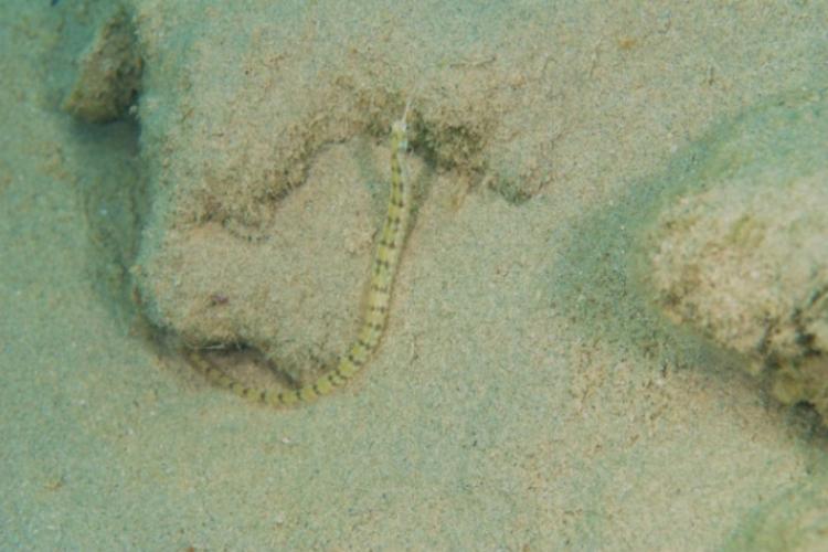 Rybka Corythoichthys schultzi