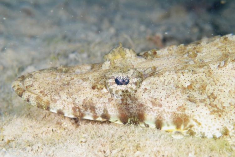 Ryba krokodyl ma zamaskowane nawet oko
