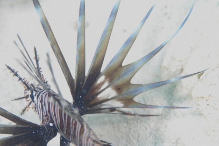Rozcapierzona płetwa skrzydlicy