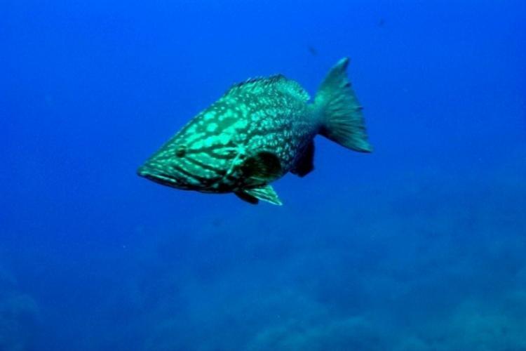Grouper marmurkowy