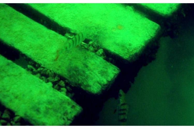 Okonie przy platformie na głębokości 6m