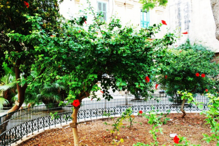 Drzewka hibiskusa