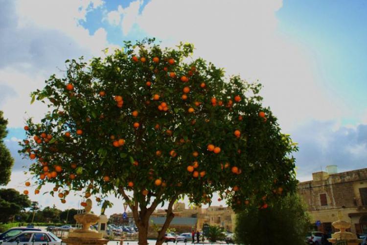 Drzewko pełne pomarańczy