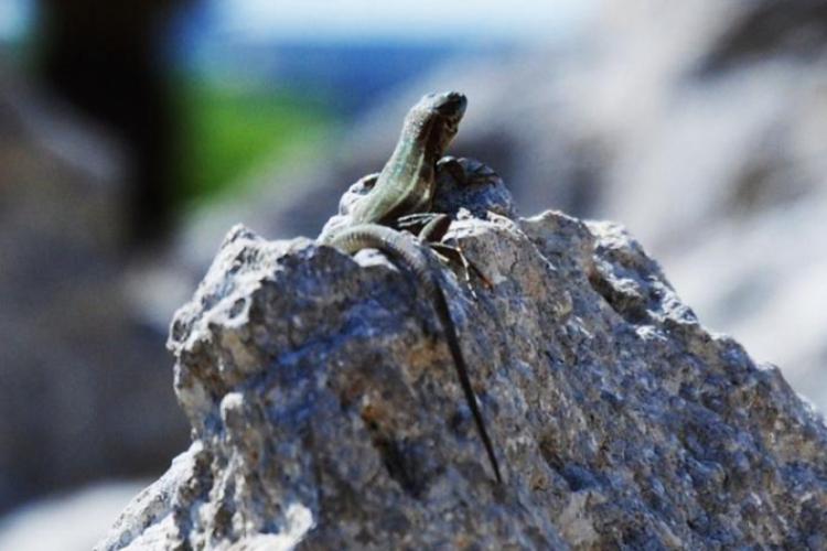 Wylegująca się jaszczurka - Ggantija