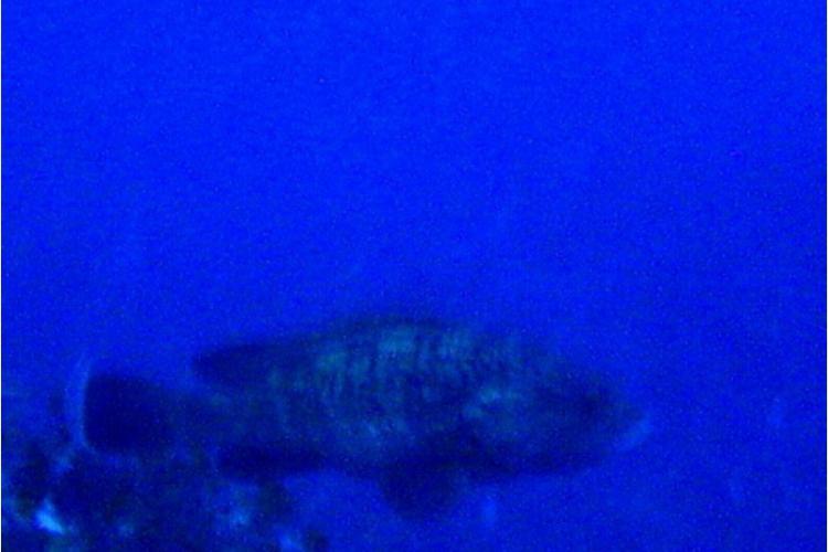 Duży grouper z 30 metrów
