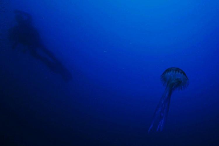 Meduza świecąca