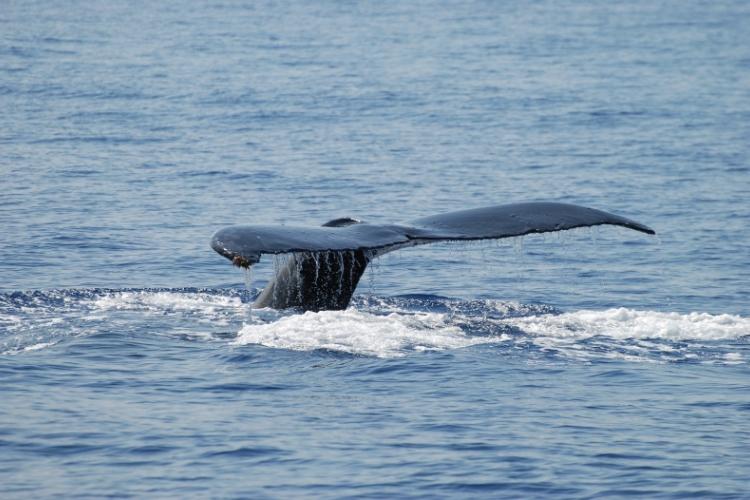 """""""Moje Hawaje"""" - Wieloryby, nurkowanie i samolot (Divers24 10-05-2016)"""
